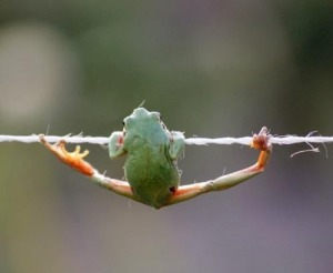 Frog-hanging-by-a-thread